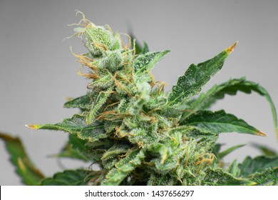 Indica flower. Fresh green weed In details. Marijuana bud close up. CBD THC in Pot. Macro trichomes cannabis.