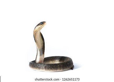 Indi-Chinese cobra,Naja siamensis,The Indochinese spitting cobra also called the Thai spitting cobra, is a species of spitting cobra found in Southeast Asia.