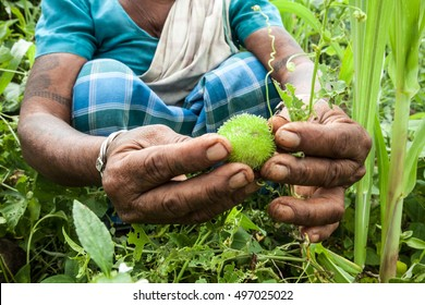 Indigenous Adivasi woman collecting an uncultivated ruit in a forest in Jharkhand, India