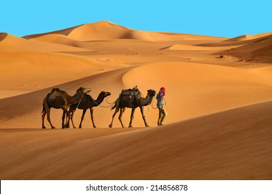 Indigenous berber man with three dromedary camels travelling in Sahara desert.