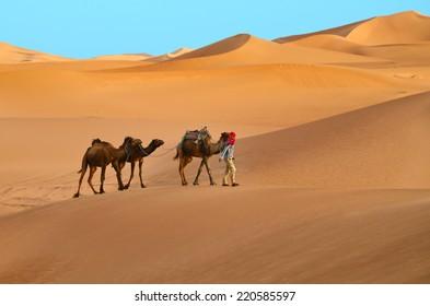 Indigenous berber man with three dromedary camels travelling in Sahara desert