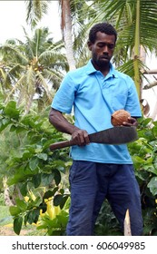 Indigenous Fijian man is about to open a coconut palm fruit in Fiji. Coconut oil is one of the major uses for the fruit and is seen as having a variety of applications in beauty, health, and cooking.