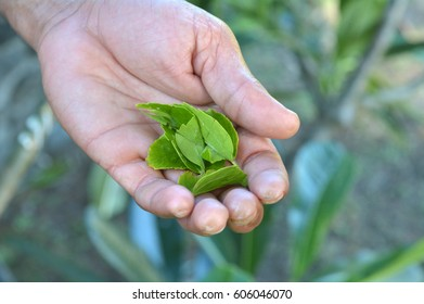 Indigenous Fijian man hand holds wild Hibiscus leaves.It have a medical and healing significance in the Fijian culture