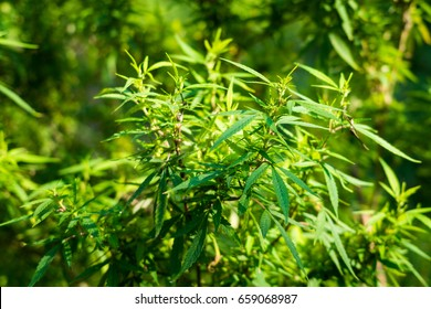 Indigenous green marijuana plant with five and seven leaves and no buds growing wild on Majuli island in Assam state, northeast India