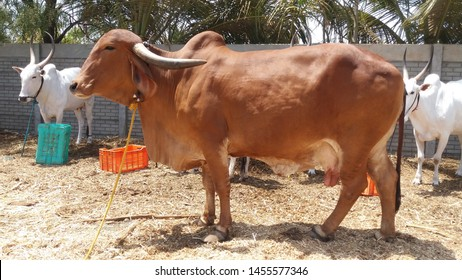 indigenous Indian Gir cow Captured at Rachana Agro Farm Pune