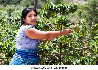 Indigenous Latin American woman is harvesting ripe coffee berries on organic coffee farm. Food and drink coffee background.