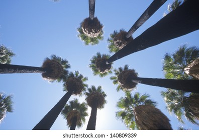 Indigenous palms in Palm Canyon, Palm Springs, California, home of Cahuilla peoples