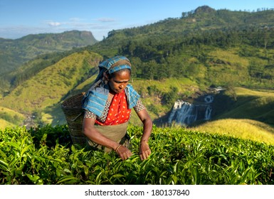Indigenous Sri Lankan Tea Picker Picking Leaves