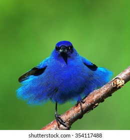 Indigo Bunting All Primped Up/Blue Tutu