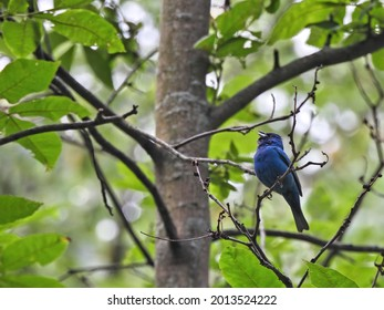 Indigo Bunting Bird in Forest: A brilliant blue Indigo bunting bird singing while perched on a tree in a dense and green forest on summer day - Shutterstock ID 2013524222