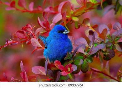 Indigo Bunting Nestled In Red Foliage Barberry Bushes