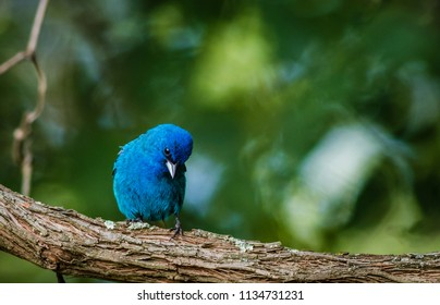 Indigo Bunting (Passerina cyanea) perched on a branch on a summer morning surrounded by lush foliage