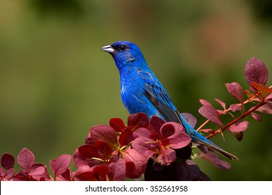 Indigo Bunting Perched In Barberry Bush