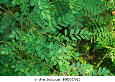 Indigofera tinctoria ( basma ), also called true indigo in garden.