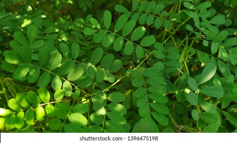 Indigofera tinctoria, also called true indigo, is a species of plant from the bean family that was one of the original sources of indigo dye. It has been naturalized to tropical and temperate asia.