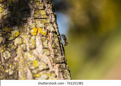 An individual ant crawls around the bark of a tree. One eye of the ant is visible. It looks like a little black knob.