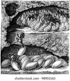 individual ant nest chamber, at the top of the larvae are feeding - an illustration of the encyclopedia publishers Education, St. Petersburg, Russian Empire, 1896