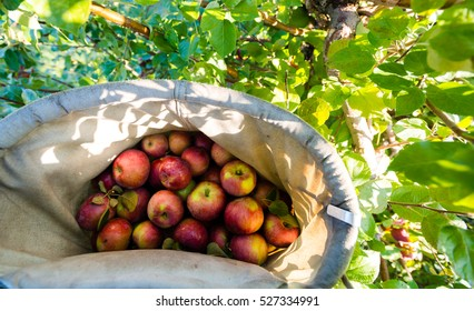 Individual basket of apple. Apple picking point of view. First person picture, red apples picking