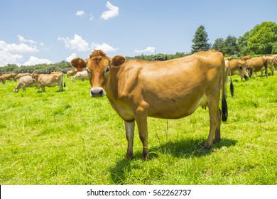 Individual Jersey cow