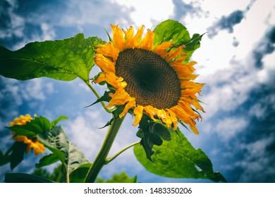 individual Sun Flower in a field