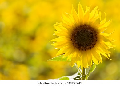 Individual sunflower standing out a field.