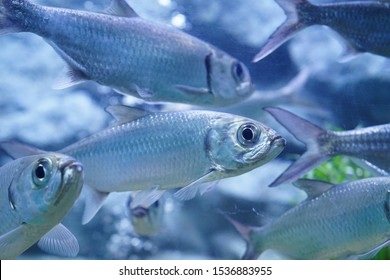 Indo Pacific tarpon in fish tank
