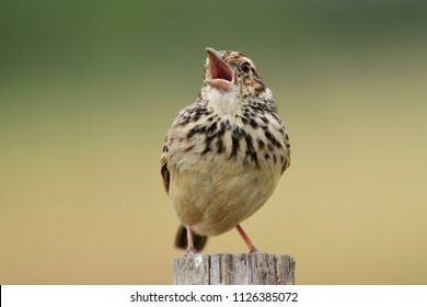 Indochinese Bush Lark: practically drab and small, yet gifted with a lovely singing voice, singing beautiful songs perched on the highest platform found at a grass lands or fields.