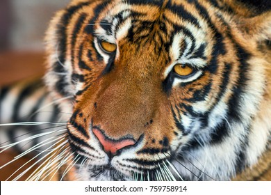 The Indochinese tiger. Close-up