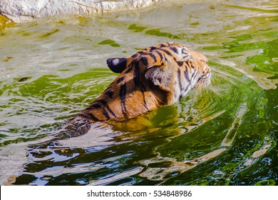 Indochinese tiger, or Corbett's tiger, or Panthera tigris corbetti is swimming in the pond at open zoo.