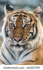 Indochinese tiger face