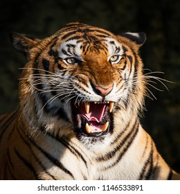INDOCHINESE TIGER (Panthera tigris corbetti) in the natural habitat, wild dangerous animal in the natural habitat, in Thailand.