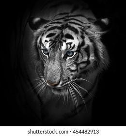 Indochinese tiger (Panthera tigris corbetti) Tierpark Berlin.