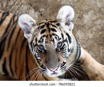The Indochinese tiger (Panthera tigris corbetti) is found in areas of Cambodia, Laos, Burma and Thailand. Their hides are a darker shade of orange than other subspecies of tigers.