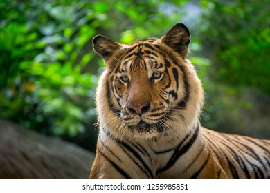 Indochinese tiger are resting in an atmosphere of wild nature.