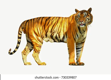 The Indochinese tiger is a tiger subspecies occurring in Myanmar, Thailand, Lao, Viet Nam, Cambodia and southwestern China. It is listed as Endangered. Selective focus on face.