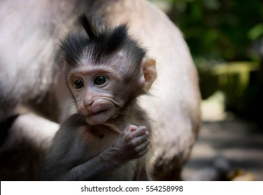 Indonesia apes monkey Baby in ubud macaque barbary ape magot