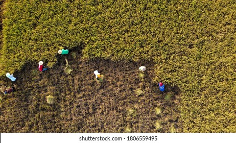 Indonesia August 2020 : Farmers Harvesting Rice in the paddy field view from above