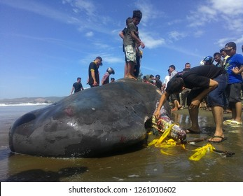 Indonesia. Banda Aceh August 4, 2016. A sperm type whale or box head whale (scientific name: Physeter macrocephalus) was found stranded in the waters of Krueng cut Aceh Besar to make people around in