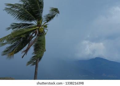 Indonesia Couconat tree