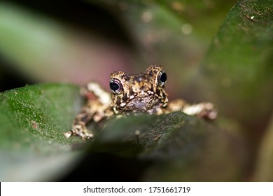 Indonesia frog Borbonica (Cross toad) closeup face on green leaves, animal closeup