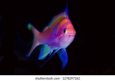 Indonesia, Papua, Cenderawasih Bay. Close-up of colorful anthia. Credit as: Jones & Shimlock / Jaynes Gallery / DanitaDelimont.com