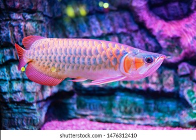 Indonesia Red Blood Arowana Fish view in close up in an aquarium