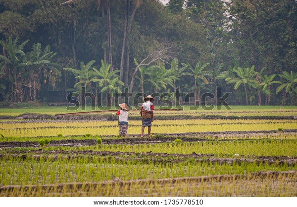 Indonesia rice farm field landscape view with traditional couple farmers work together