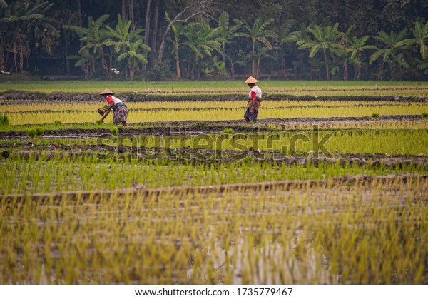 Indonesia rice farm field landscape view with traditional farmers work together