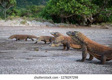 Indonesia, Rinca Island, Komodo National Park. Komodo dragons on beach. Credit as: Jones & Shimlock / Jaynes Gallery / DanitaDelimont.com
