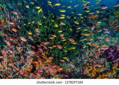 Indonesia, West Papua, Raja Ampat. Anthia fish and coral reef. Credit as: Jones & Shimlock / Jaynes Gallery / DanitaDelimont.com
