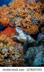 Indonesia, West Papua, Raja Ampat. Hawksbill sea turtle and coral. Credit as: Jones & Shimlock / Jaynes Gallery / DanitaDelimont.com