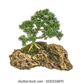 indonesian cosmetic bark tree as bonsai growing on the rock, isolated on white back ground