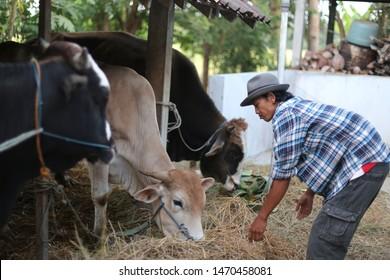 indonesian farmer cow holding field. yogyakata indonesia. august 5, 2019.