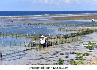 Indonesian seaweed farmer working at the seaweed farms, Nusa Penia Island, Bali, Indonesia